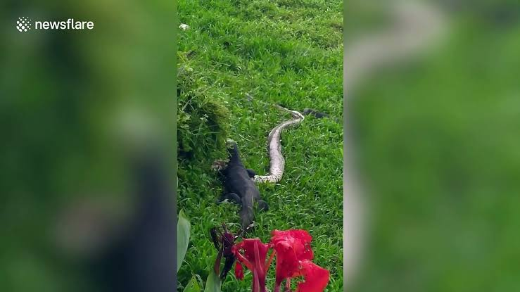 Snake Banquet: Swen Einhaus uploads viral clip of Two Monitor Lizards Feasting on Reticulated Python (Warning: Graphic Video)