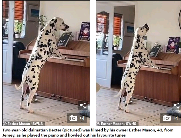 Music-loving Dexter the Dalmatian, 2 years, wows the internet by playing the piano, howls along (video)
