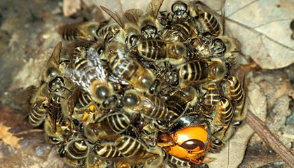 Read more about the article Honeybees cook giant hornet alive (video)